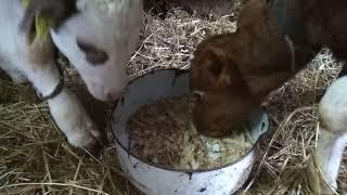 как и чем кормить теленка