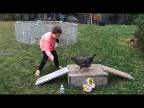 Chicken Completes Agility Course
