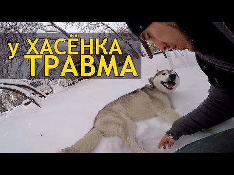 ТРАВМА У ХАСКИ / Husky got injured
