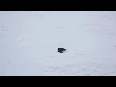 Raven Snow Roller