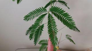 Мимоза стыдливая из семян
