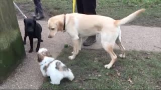 LOUIS THE SHIH TZU PUPPY (13 WEEKS OLD) MEETS LOTS OF DOGS IN THE PARK