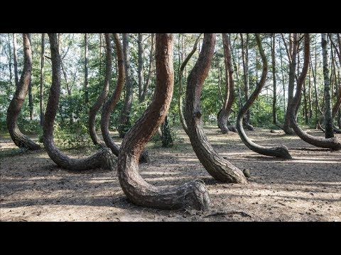 What Made All These Trees in Poland Crooked?