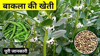 बाकला की खेती कैसे होती है पूरी जानकारी🌱🔥bakla ki kheti kaise karen   keraiya ki kheti   Bakla kheti