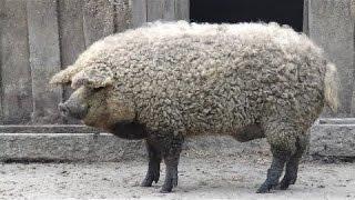 レイヨウ:ウシ×ヤギ ○イノブタ:イノシシの雄とブタの雌 ○ゾニー:オス...