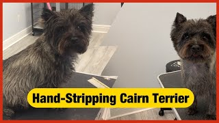 Cairn Terrier Hand stripping, modified pet trim/ Grooming a Cairn Terrier.