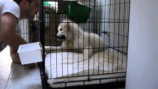 Maremma Sheepdog - A Year In The Life
