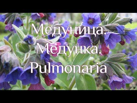 Медуница – лечебные свойства