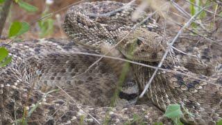 Blow Gun Rattler kill just after the monster snake strikes!!