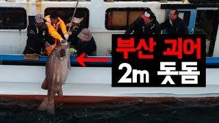 부산의 괴어 2m급 돗돔잡이 현장! 놀라운 레전드급 영상 Big fish