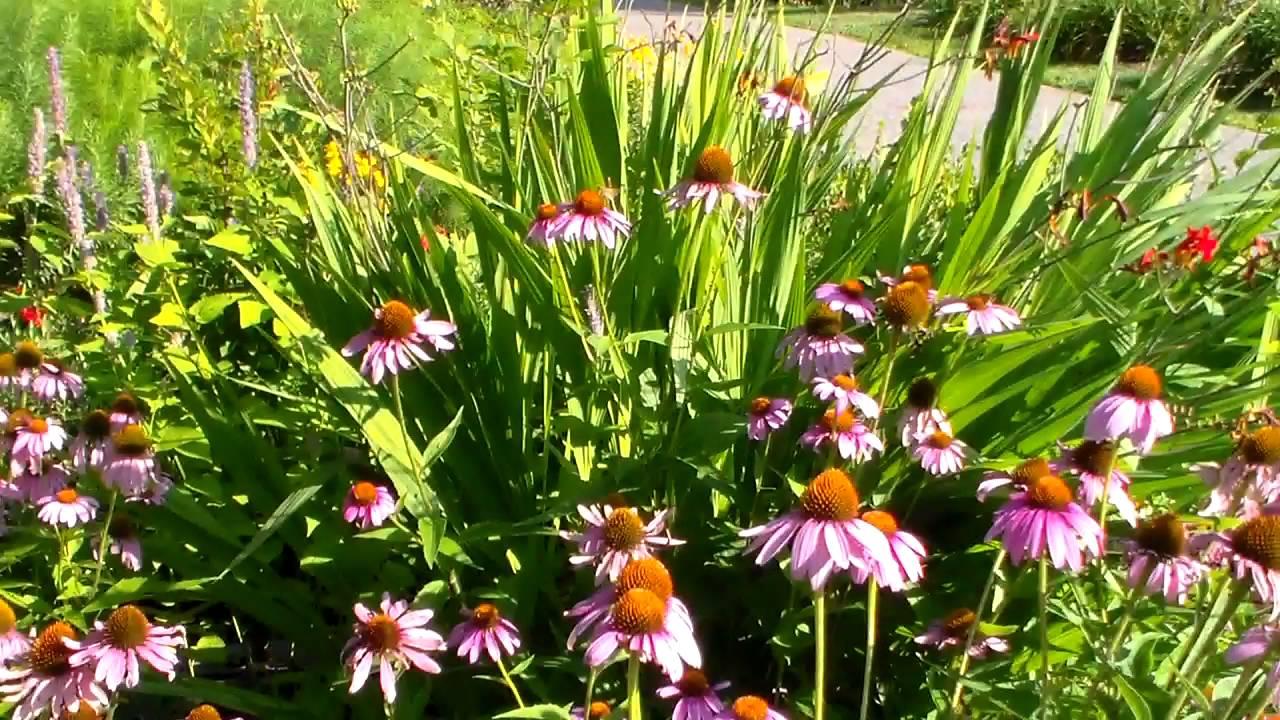 Echinacea Purple Coneflower Youtube