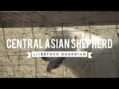 CENTRAL ASIAN SHEPHERDS THE ULTIMATE LIVE STOCK GUARDIAN