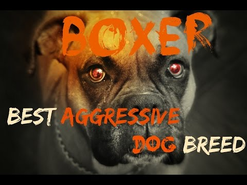 BOXER BEST DOG BREED  EVER....!!!