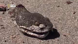 Un serpent zombie - Les zarbis