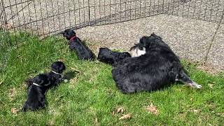Anna's schnoodle puppies outside for the first time  April 6, 2020