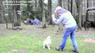 Golden retriever puppy training. Lesson 6/Обучение щенка ретривера. Урок 6