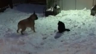frenchie-busts-out-hilarious-dance-moves-to-try-and-impress-cat