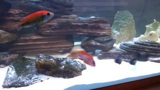 видео Малавийские цихлиды в интернет магазине Цихлидка