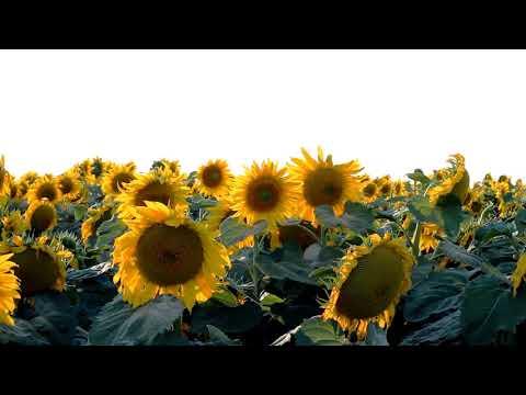 Sunflower Loop Long