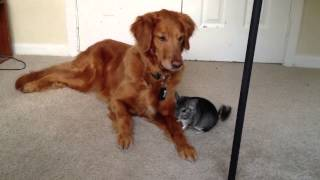 My dog meeting a chinchilla for the first time