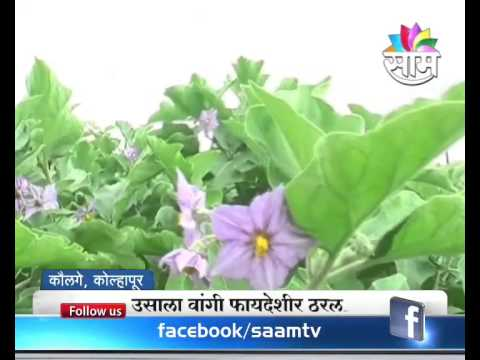 A Farmer From Sangli Gets Inspired By Watching Agrowon