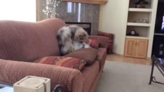 Fighting Dogs Shih Tzu Vs Pomeranian