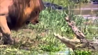 動物の戦い 1 vs 1、 1 vs ALL、最強動物王は? (昆虫含む)。 Alligat...