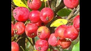 Яблони в цвету Райские яблочки  Flowering Apple Trees(Видео о красоте цветения и красоте плодов райских яблок. Этот вид яблонь очень красивый. И много сортный...., 2014-05-07T21:16:59.000Z)