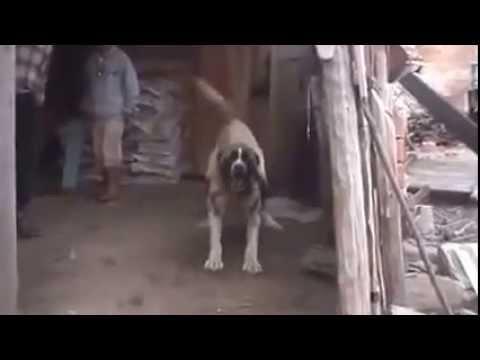 Dev Kangal'ın Güçlü Bekçilik Özelliği