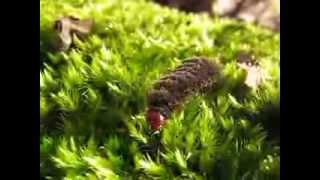 Гусеница черная мохнатая(В лесу нашли мох, по нему ползала страшная гусеница., 2013-09-24T15:10:54.000Z)