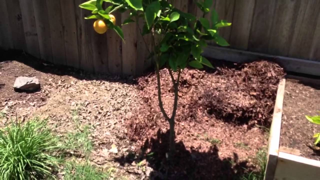 Pruning Page Mandarin Meyer Lemon Trees 1