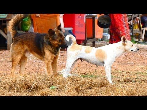 Rural SummerDogs!! Anatolian Shepherd Dogs Vs Rhodesian Ridgeback in Veal Village | Life Of Dogs #91