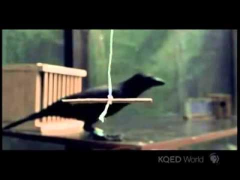 kebijaksanaan burung gagak ( subhanallah )