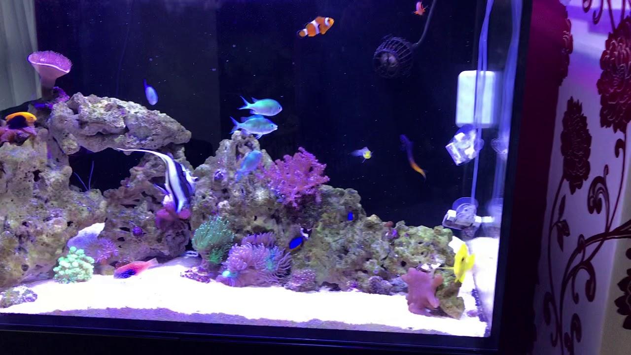 Red Sea Reefer 250 Tank Update Moorish Idol Tang Wrasse Shrimps