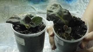 🌱Детка глоксинии с материнским листом ! Как быть дальше 🌱 How to grow gloxinia from a leaf