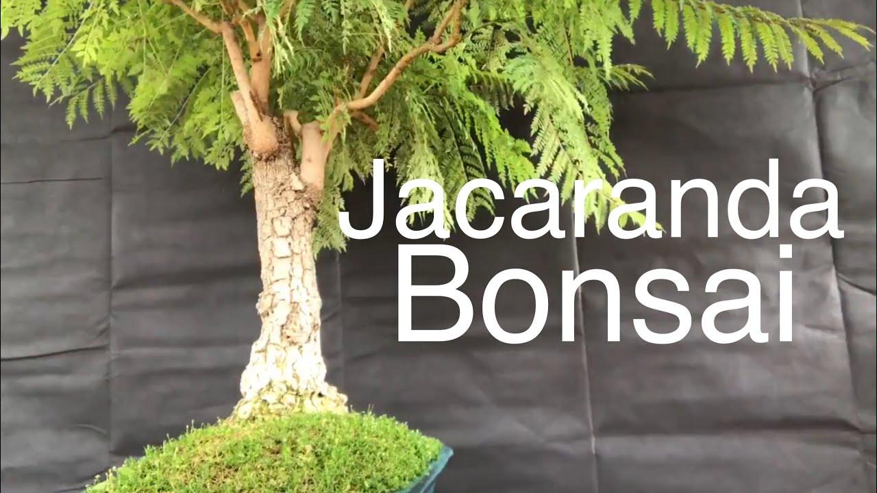 Bonsai Jacaranda Tree Pruning And Guy Wiring June 10 2019 Youtube