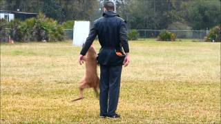 Competition Obedience Training Tampa Bay