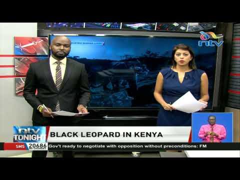 Black leopard sported in Kenya (black panther) thumbnail