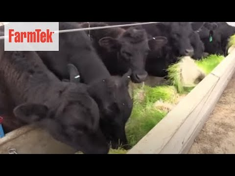 FarmTek's Fodder Fed Cattle