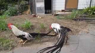 祖父の飼育している烏骨鶏にオナガドリを会わせてみましたが・・・・ 同...
