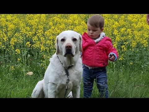 Unser Labrador Balu (Familienhund, Kuschelbär, Vielfraß, Krankheiten: Tumor und Epilepsie)