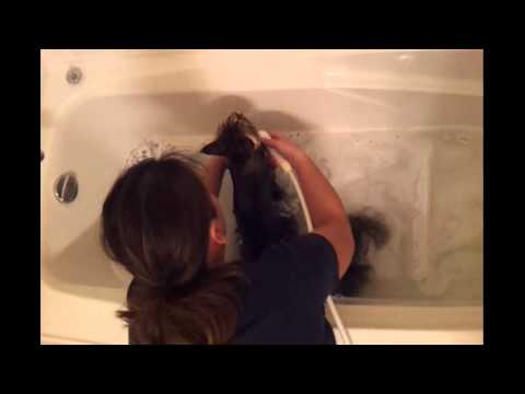 How To Bathe A Maine Coon Cat