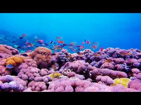 Perfect Coral Garden in TUMBAK ISLAND - EXPLORE NORTH SULAWESI - DISCOVER INDONESIA