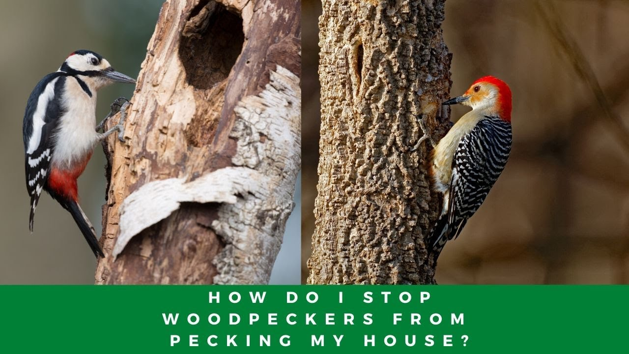 how do i stop woodpeckers from pecking my house - youtube