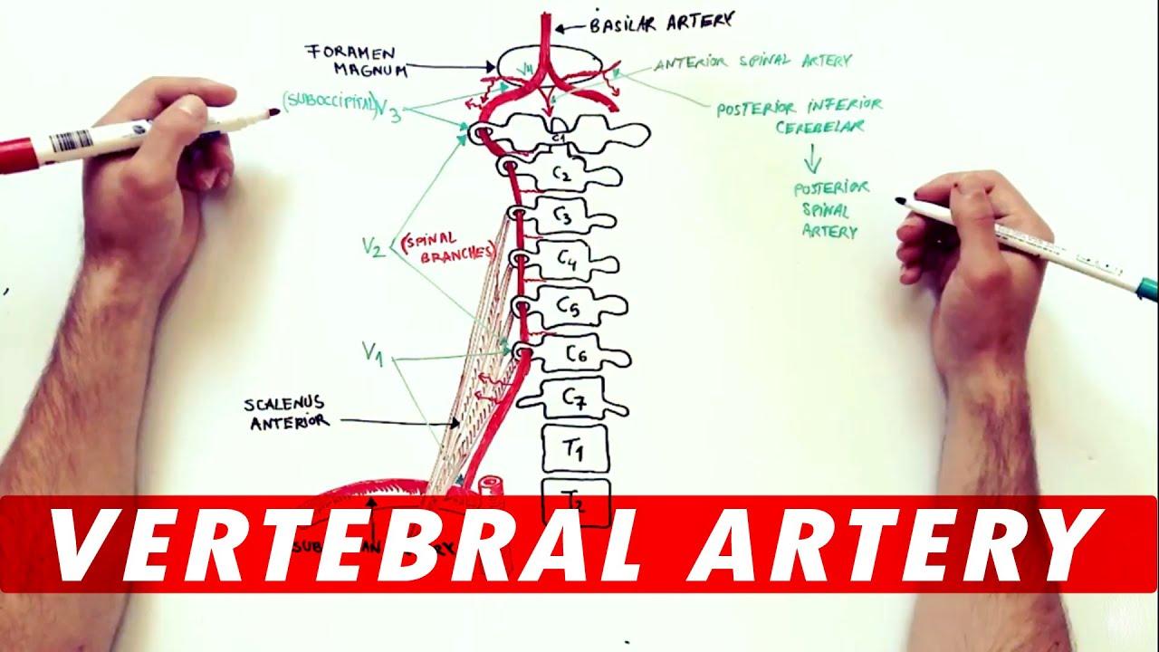 Anatomy Tutorial The Vertebral Artery Youtube