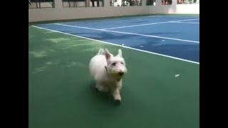 Cute scottie dog playing fetch like a retriever while Westie watche...