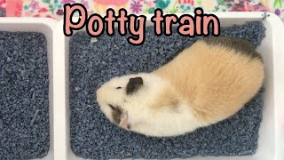 Potty train your guinea pig - How to -
