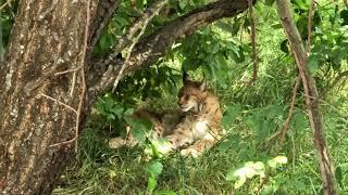 Шикарная кошка Рысь в парке Тайган