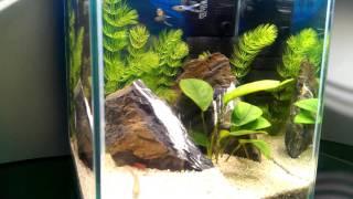 Готовый аквариум с рыбами и растениями - ТРЕЙС №1 (10литров)(, 2015-11-06T16:16:20.000Z)
