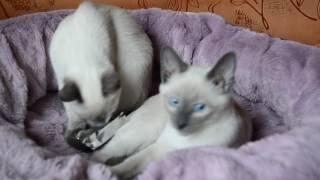 #тайские котята из питомника г. Белгород #thaicatbelgorod#